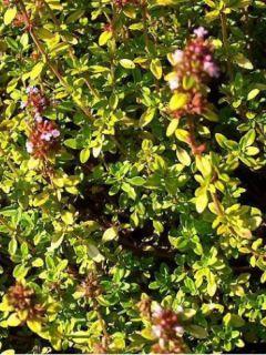 Thym citron Bertram Anderson - Thymus citriodorus