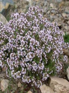 Thym de Provence  - Thymus vulgaris - Thym commun