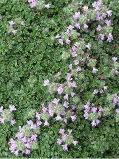 Thym serpolet Elfin - Thymus serpyllum