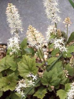 Tiarelle - Tiarella cordifolia Moorgrun