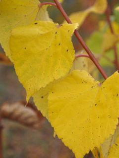 Tilleul à grandes feuilles, Tilleul de Hollande 'Rubra'
