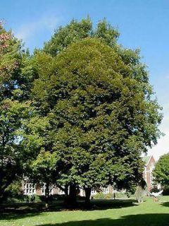 Tilleul à grandes feuilles - Tilia platyphyllos