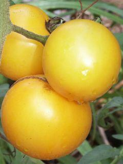 Tomate Lemon Boy F1 en plants - Tomate jaune