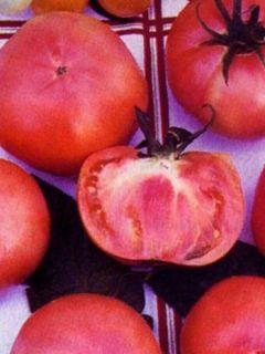 Tomate Rose de Berne en plants