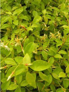 Trachelospermum asiaticum 'Golden Memories'