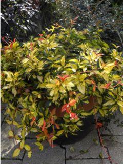 Trachelospermum asiaticum Ogon-Nishiki - Jasmin étoilé