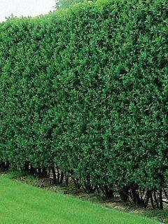 Troène commun - Ligustrum vulgare Atrovirens