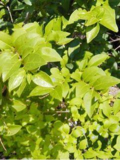 Troène de Californie 'Lemon Lime'