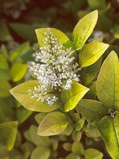 Troène doré - Ligustrum Vicaryi