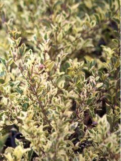 Ligustrum ibota Musli (Muster) - Troène panaché