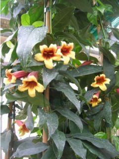 Bignonia capreolata - Campsis capreolata - Bignone à vrilles