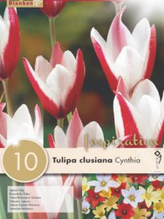 Tulipe botanique clusiana Cynthia - Tulipe des Dames