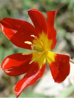 Tulipe Botanique schrenkii