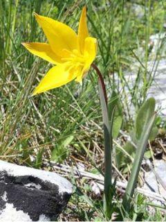 Tulipe Botanique sylvestris