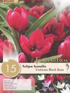 Tulipe Botanique humilis pulchella Violacea
