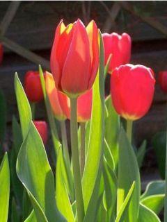 Tulipe Darwin Apeldoorn