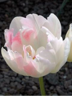 Tulipe Double Angelique