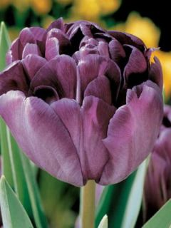 Tulipe Double Diamant Bleu