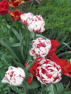 Tulipe Double Tardive Carnaval de Nice