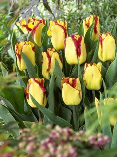 Tulipe Cape Town