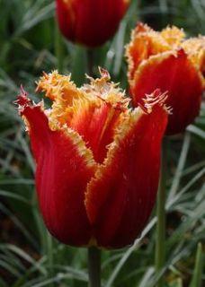 Tulipe Dentelée Fabio