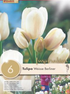 Tulipe pluriflore Weisse Berliner