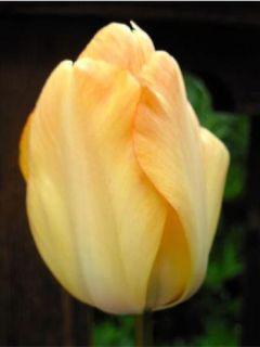 Tulipe Darwin Daydream