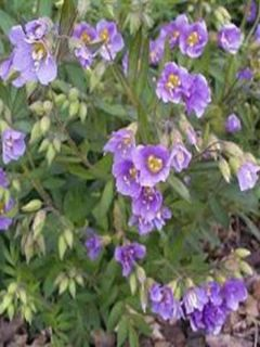 Polemonium caeruleum Lambrook Mauve - Valériane grecque