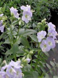 Polemonium Sonia's Bluebell - Valériane grecque