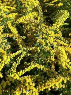 Solidago Spatgold - Verge d'or Spatgold