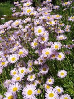 Erigeron speciosus Grandiflorus - Erigeron de Californie à grandes fleurs - Vergerette gracieuse à grandes fleurs