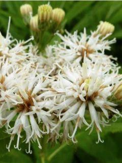 Vernonia crinita Alba - Vernone blanche