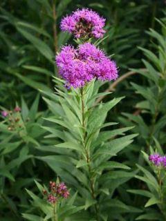 Vernonia fasciculata
