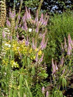 Veronicastrum virginicum Fascination - Veronicastrum rose lilas