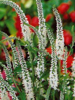 Veronica longifolia Schneeriesin - Véronique à longues feuilles