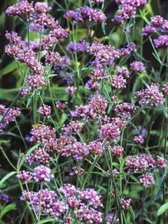 Verbena bonariensis Lollipop - Verveine de Buenos Aires naine