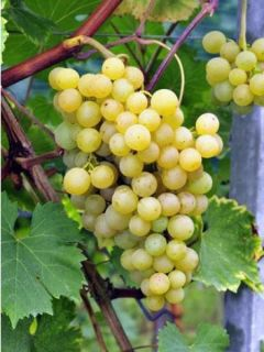 Vigne Ampelia Perdin® - Vitis vinifera
