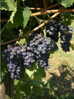 Vigne Cardinal - Vitis vinifera