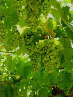 Vigne 'Centennial Seedless'