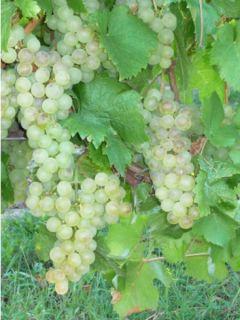 Vigne Chasselas Doré - Vitis vinifera