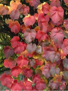 Vigne d'ornement - Vitis coignetiae