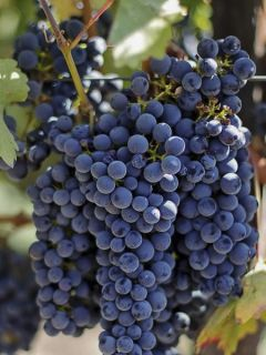Vigne Noir Hâtif de Marseille