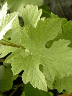 Vigne d'ornement - Vitis vinifera Incana