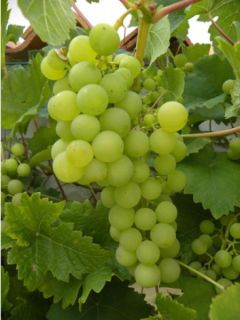 Vigne Italia - Vitis vinifera
