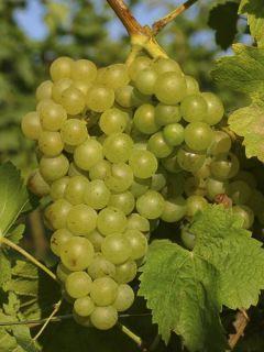Vigne Madeleine Royale (Madeleine Impériale)