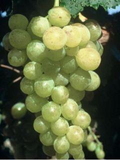 Vigne Muscat d'Alexandrie - Vitis vinifera
