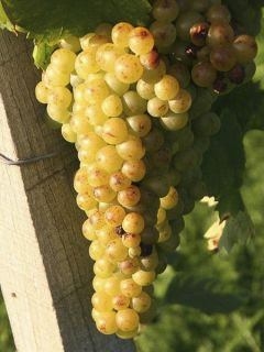 Vigne Muscat Petits grains