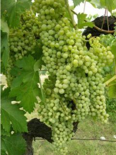Vigne Perlette®