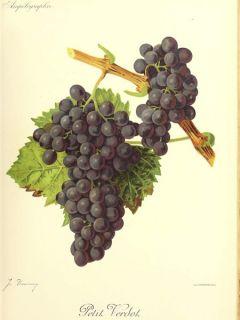 Vigne 'Petit Verdot'