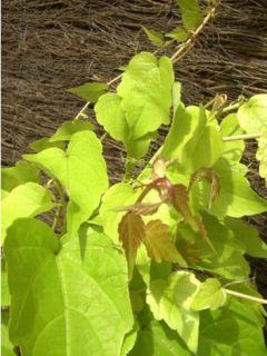 Parthenocissus tricuspidata Golden Wall - Vigne vierge
